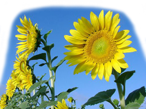 flowers_sunflowers1
